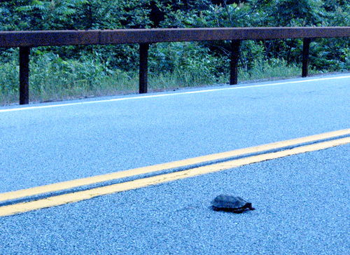 turtle crosses the road