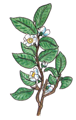 Tea plant drawing